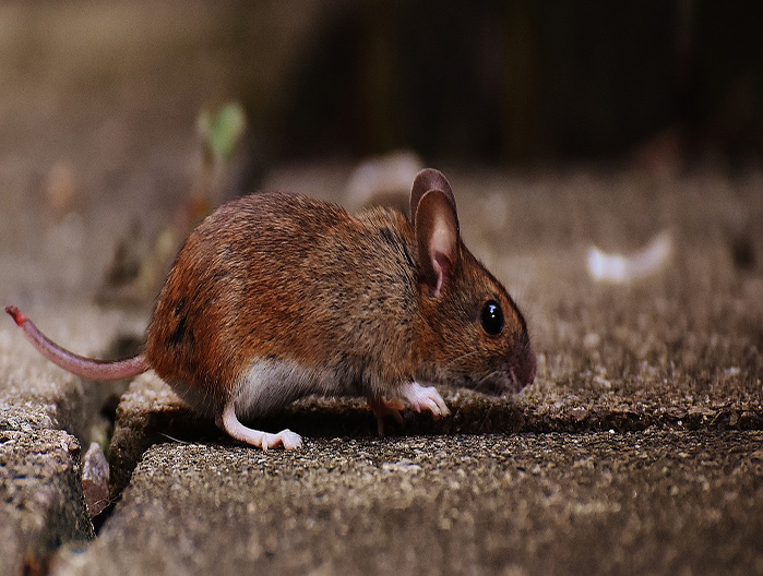Rodents (Mice, Rats) Removal Service in Mississauga ON